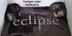 Twilight Kittens • DK Silverleaf • Norsk Skovkatte • Norwegian Forest cats