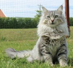 DK Tomiss Desdemona • DK Silverleaf • Norsk Skovkatte • Norwegian Forest cats