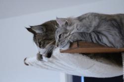 Galleri • DK Silverleaf • Norsk Skovkatte • Norwegian Forest cats
