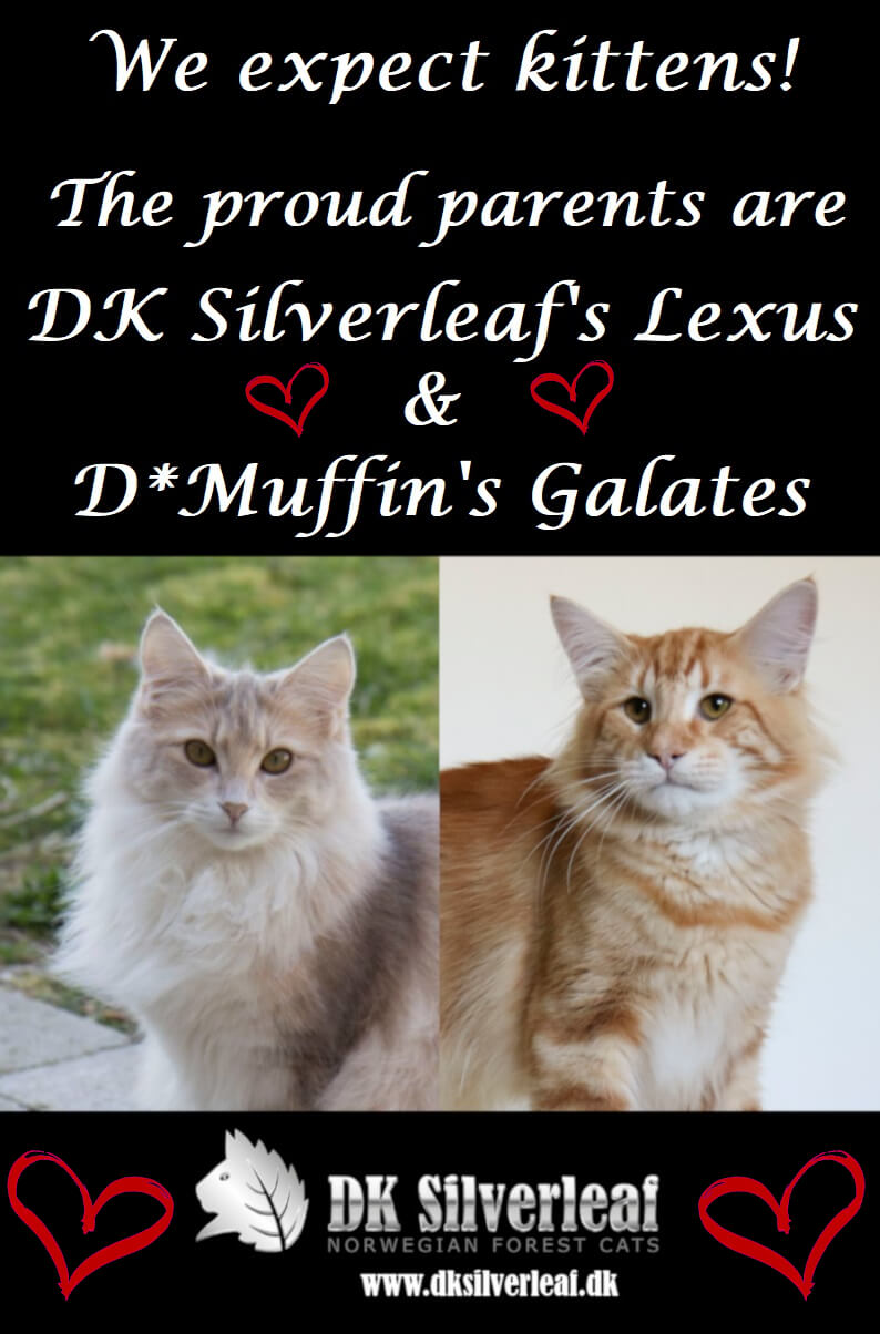 Planer • DK Silverleaf • Norsk Skovkatte • Norwegian Forest cats