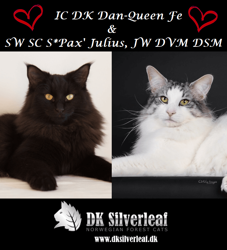 Plans • DK Silverleaf • Norsk Skovkatte • Norwegian Forest cats