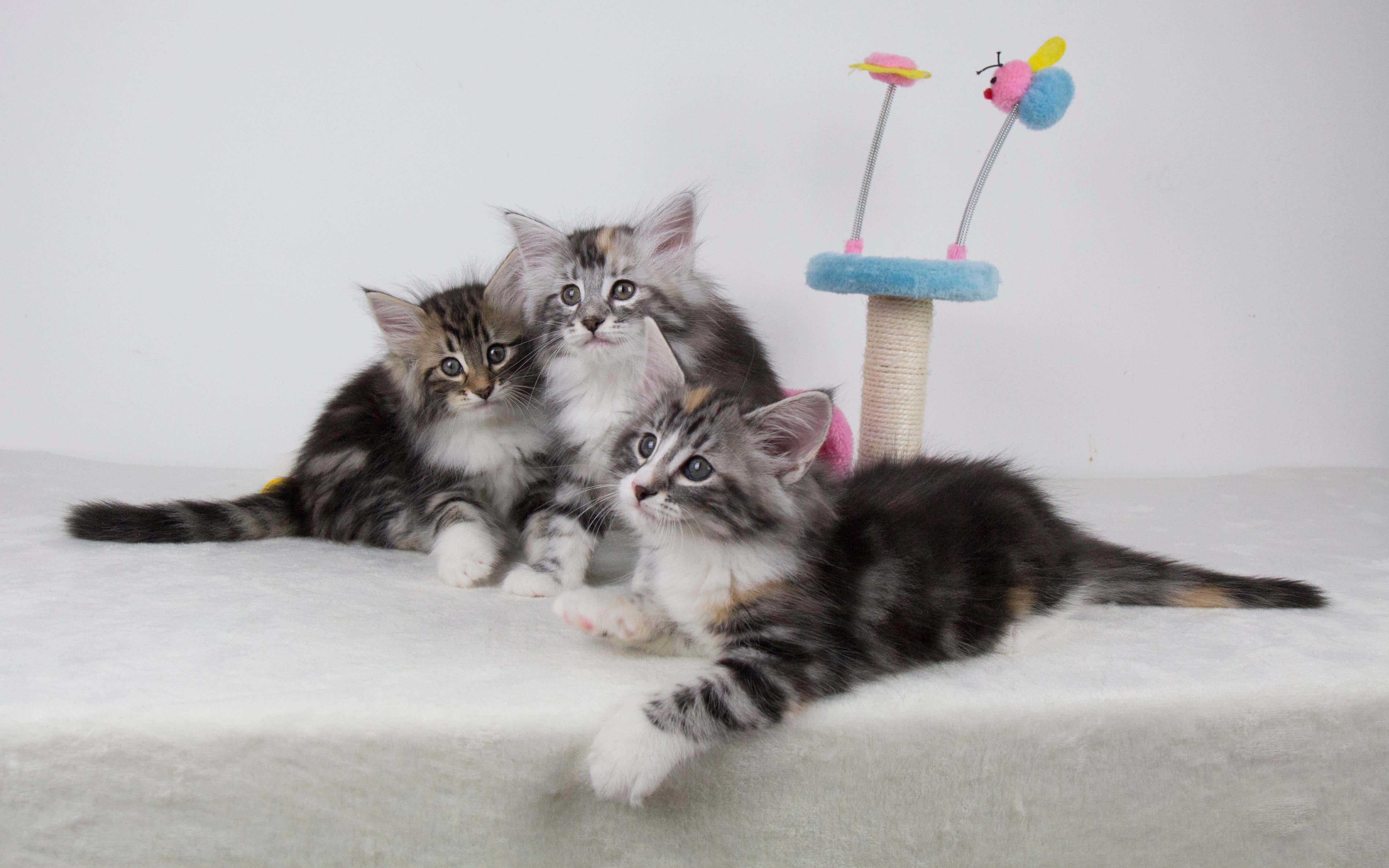 Welcome • DK Silverleaf • Norsk Skovkatte • Norwegian Forest cats