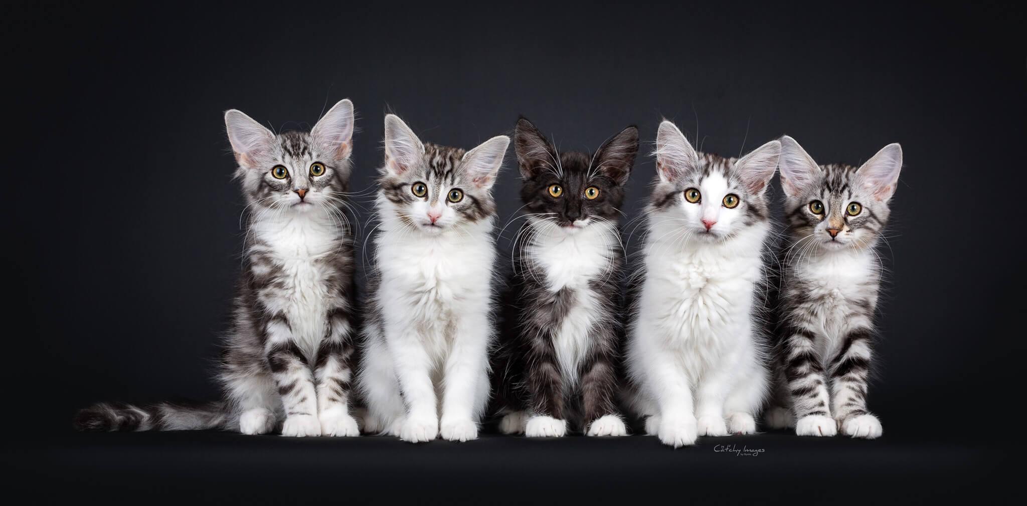 DK Silverleaf's Warcraft Dragons kuld • DK Silverleaf • Norsk Skovkatte • Norwegian Forest cats