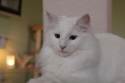 Gallery • DK Silverleaf • Norsk Skovkatte • Norwegian Forest cats