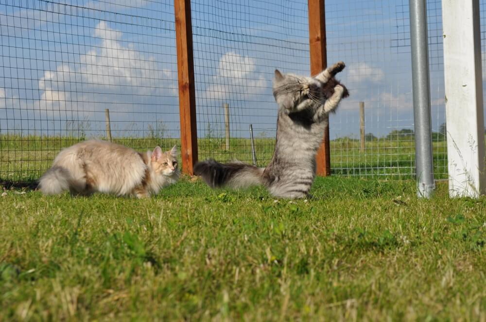 Haven • DK Silverleaf • Norsk Skovkatte • Norwegian Forest cats