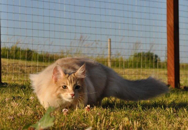 Garden • DK Silverleaf • Norsk Skovkatte • Norwegian Forest cats