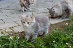 DK Silverleaf's Lexus • DK Silverleaf • Norsk Skovkatte • Norwegian Forest cats