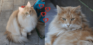Need for Speed kuldet • DK Silverleaf • Norsk Skovkatte • Norwegian Forest cats