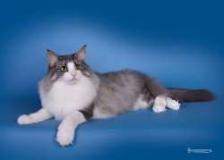 DK Shadowpaw'sPurple Rain • DK Silverleaf • Norsk Skovkatte • Norwegian Forest cats