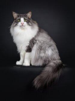 SC DK Shadowpaw's Purple Rain, DVM • DK Silverleaf • Norsk Skovkatte • Norwegian Forest cats