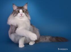 DK Shadowpaw's Purple Rain • DK Silverleaf • Norsk Skovkatte • Norwegian Forest cats