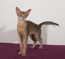 Tick'a Luna Erta Alle*PL • DK Silverleaf • Norsk Skovkatte • Norwegian Forest cats