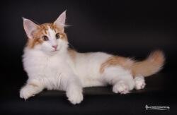 Vi mindes • DK Silverleaf • Norsk Skovkatte • Norwegian Forest cats