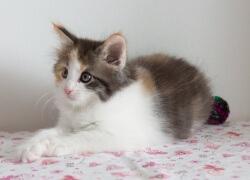 DK Silverleaf's Hot Sauce • DK Silverleaf • Norsk Skovkatte • Norwegian Forest cats