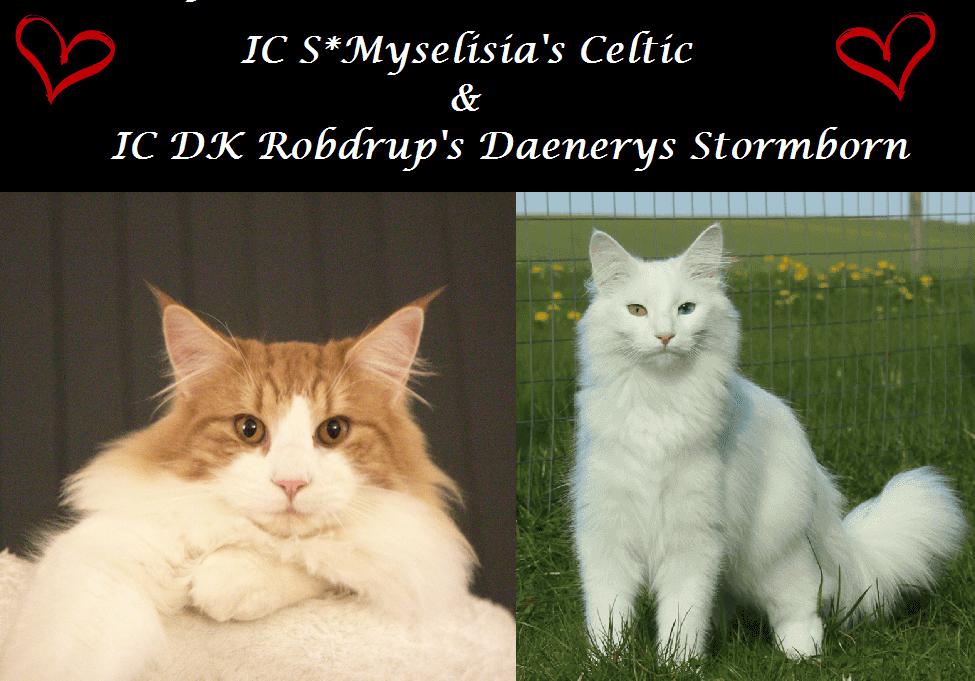 BBQ kuldet • DK Silverleaf • Norsk Skovkatte • Norwegian Forest cats