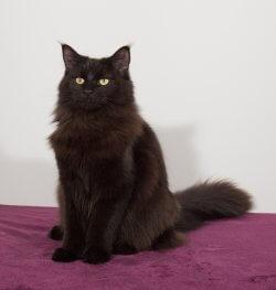 Dan-Queen Fe • DK Silverleaf • Norsk Skovkatte • Norwegian Forest cats