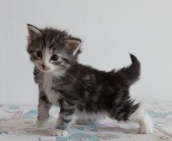 DK Silverleaf's Slowpoke • DK Silverleaf • Norsk Skovkatte • Norwegian Forest cats