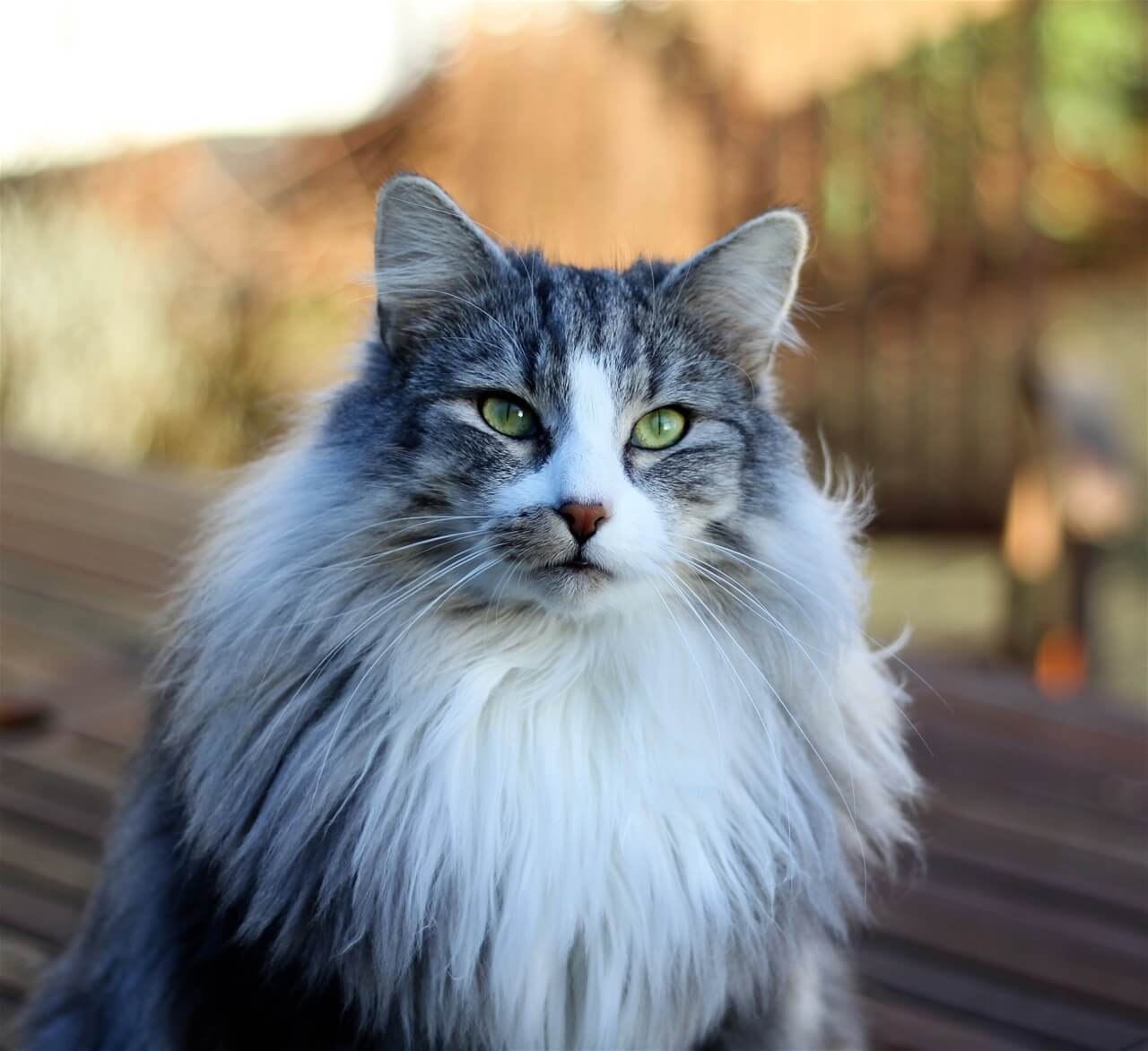 CH DK Silverleaf's Slowpoke • DK Silverleaf • Norsk Skovkatte • Norwegian Forest cats