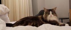 D*Muffin's Éowyn • DK Silverleaf • Norsk Skovkatte • Norwegian Forest cats