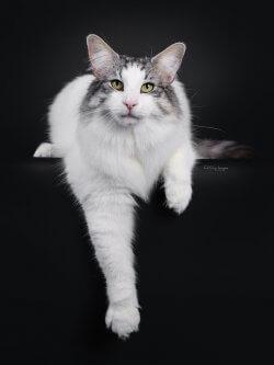 NW SW SC S*Pax' Julius, JW DVM DSM • DK Silverleaf • Norsk Skovkatte • Norwegian Forest cats