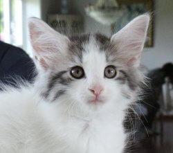 S*Pax' Julius • DK Silverleaf • Norsk Skovkatte • Norwegian Forest cats