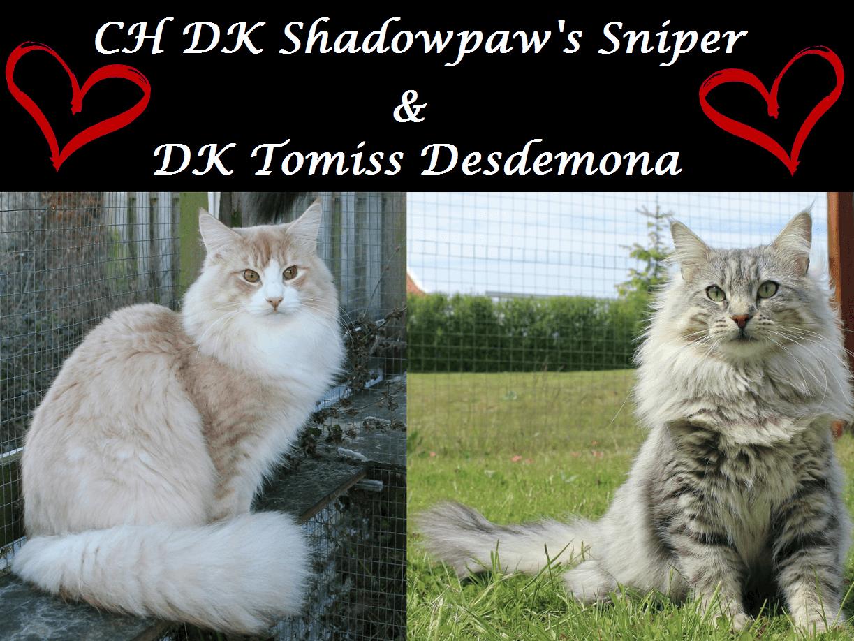 Cocktail kuldet • DK Silverleaf • Norsk Skovkatte • Norwegian Forest cats