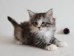 Tequila Sunrise • DK Silverleaf • Norsk Skovkatte • Norwegian Forest cats