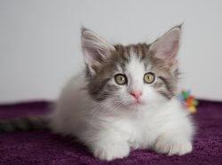 DK Silverleaf's Dancing Queen • DK Silverleaf • Norsk Skovkatte • Norwegian Forest cats