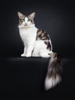 She's My Kind of Girl • DK Silverleaf • Norsk Skovkatte • Norwegian Forest cats