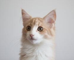 GIC DK Shadowpaw's Zaphira • DK Silverleaf • Norsk Skovkatte • Norwegian Forest cats