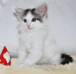 DK Silverleaf's Earth Quake • DK Silverleaf • Norsk Skovkatte • Norwegian Forest cats