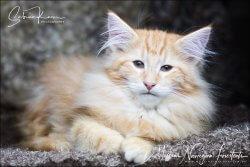 D*Muffin's Galates • DK Silverleaf • Norsk Skovkatte • Norwegian Forest cats
