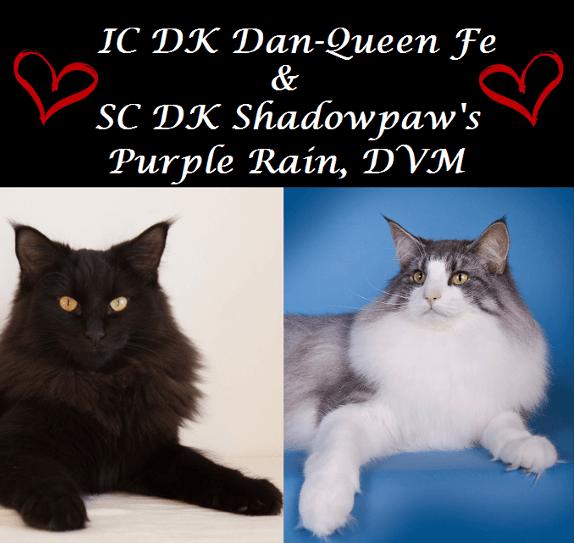 Batman og Robin • DK Silverleaf • Norsk Skovkatte • Norwegian Forest cats