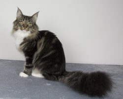 IT*Beauty's Flight Divina Scarlett O'Hara • DK Silverleaf • Norsk Skovkatte • Norwegian Forest cats