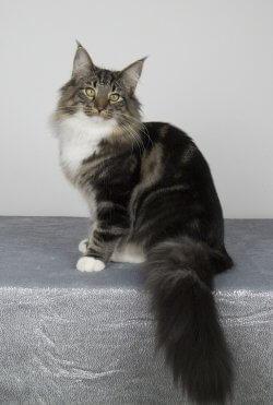 IT*Beauty's Flight Divina Scarlett O'Hara • DK Silverleaf • Norsk Skovkatte • Norwegian Forest cats