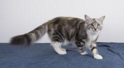 Twilight Sparkle • DK Silverleaf • Norsk Skovkatte • Norwegian Forest cats