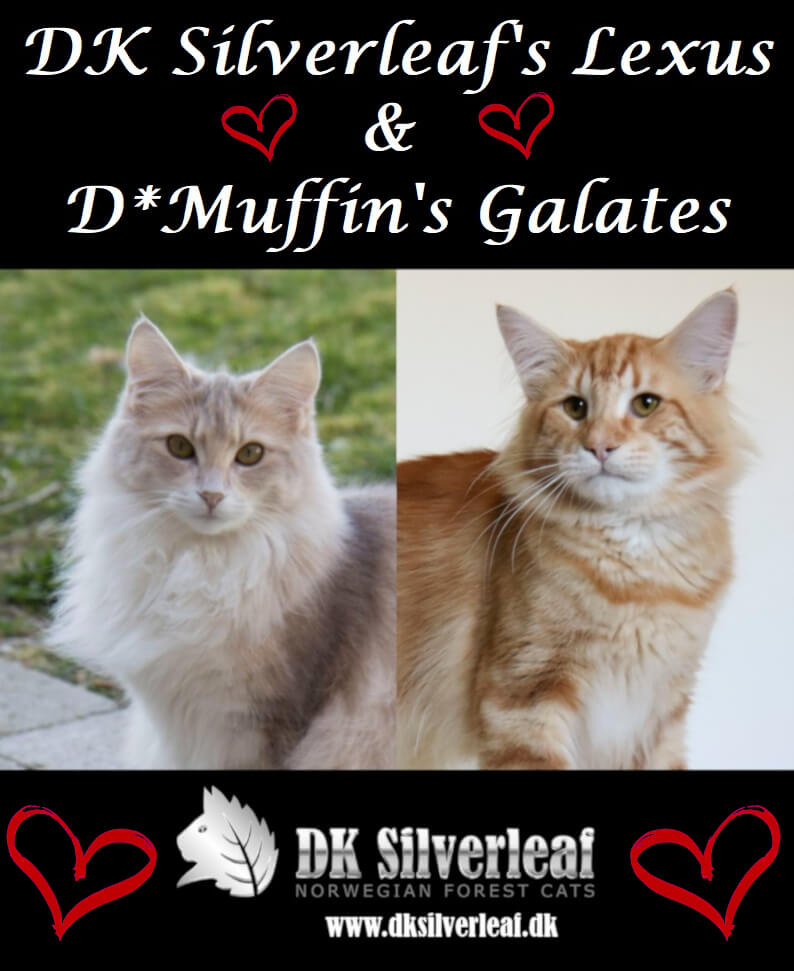 Constellation litter • DK Silverleaf • Norsk Skovkatte • Norwegian Forest cats