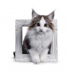 (N) Skaujenta's Unni • DK Silverleaf • Norsk Skovkatte • Norwegian Forest cats