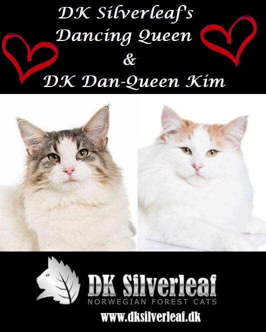 DK Silverleaf's James Bond kuld • DK Silverleaf • Norsk Skovkatte • Norwegian Forest cats