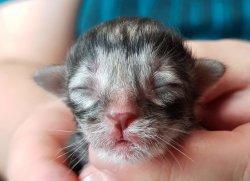 DK Silverleaf's Rigatoni • DK Silverleaf • Norsk Skovkatte • Norwegian Forest cats