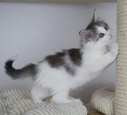 DK Silverleaf's Thunderball • DK Silverleaf • Norsk Skovkatte • Norwegian Forest cats