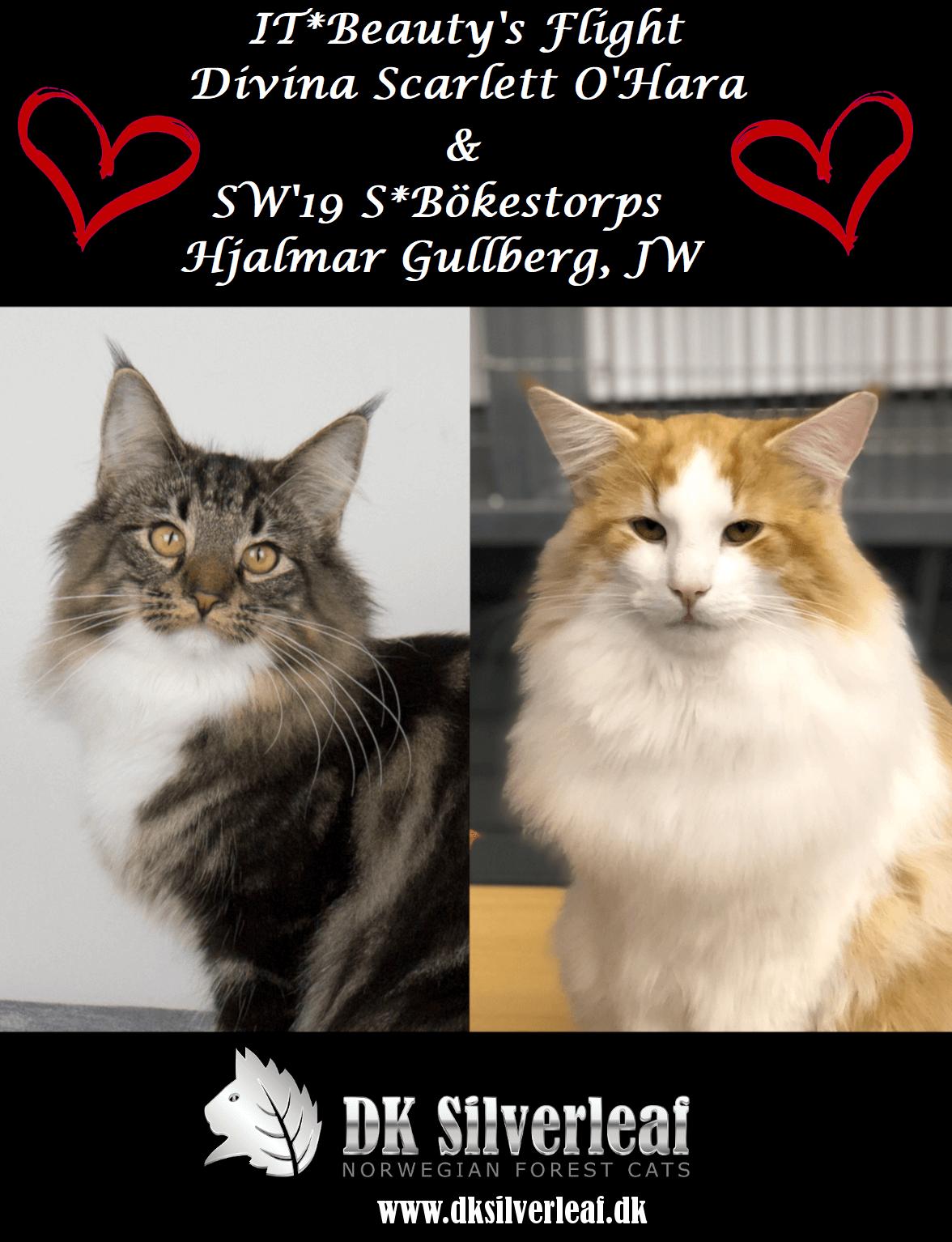 DK Silverleaf's Pasta kuld • DK Silverleaf • Norsk Skovkatte • Norwegian Forest cats
