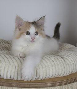 DK Silverleaf's Skyfall • DK Silverleaf • Norsk Skovkatte • Norwegian Forest cats