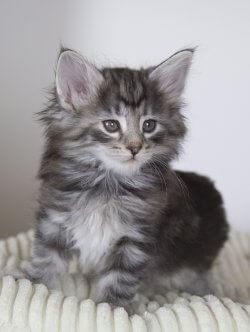 DK Silverleaf's Cappelletti • DK Silverleaf • Norsk Skovkatte • Norwegian Forest cats