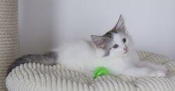 DK Silverleaf's License to Kill • DK Silverleaf • Norsk Skovkatte • Norwegian Forest cats