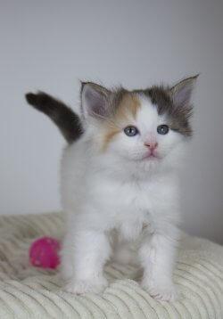 DK Silverleaf's Goldeneye • DK Silverleaf • Norsk Skovkatte • Norwegian Forest cats