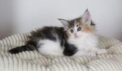 DK Silverleaf's Rotelle • DK Silverleaf • Norsk Skovkatte • Norwegian Forest cats