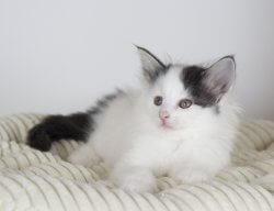 DK Silverleaf's Corzetti • DK Silverleaf • Norsk Skovkatte • Norwegian Forest cats