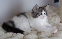 DK Silverleaf's Casino Royale • DK Silverleaf • Norsk Skovkatte • Norwegian Forest cats