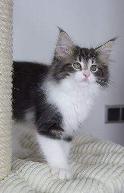 DK Silverleaf's Linguine • DK Silverleaf • Norsk Skovkatte • Norwegian Forest cats
